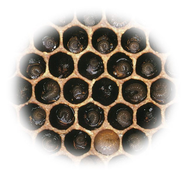 Healthy worker bee larvae at different stages