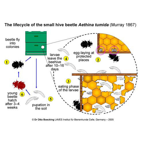 The Life cycle of the small hive beetle
